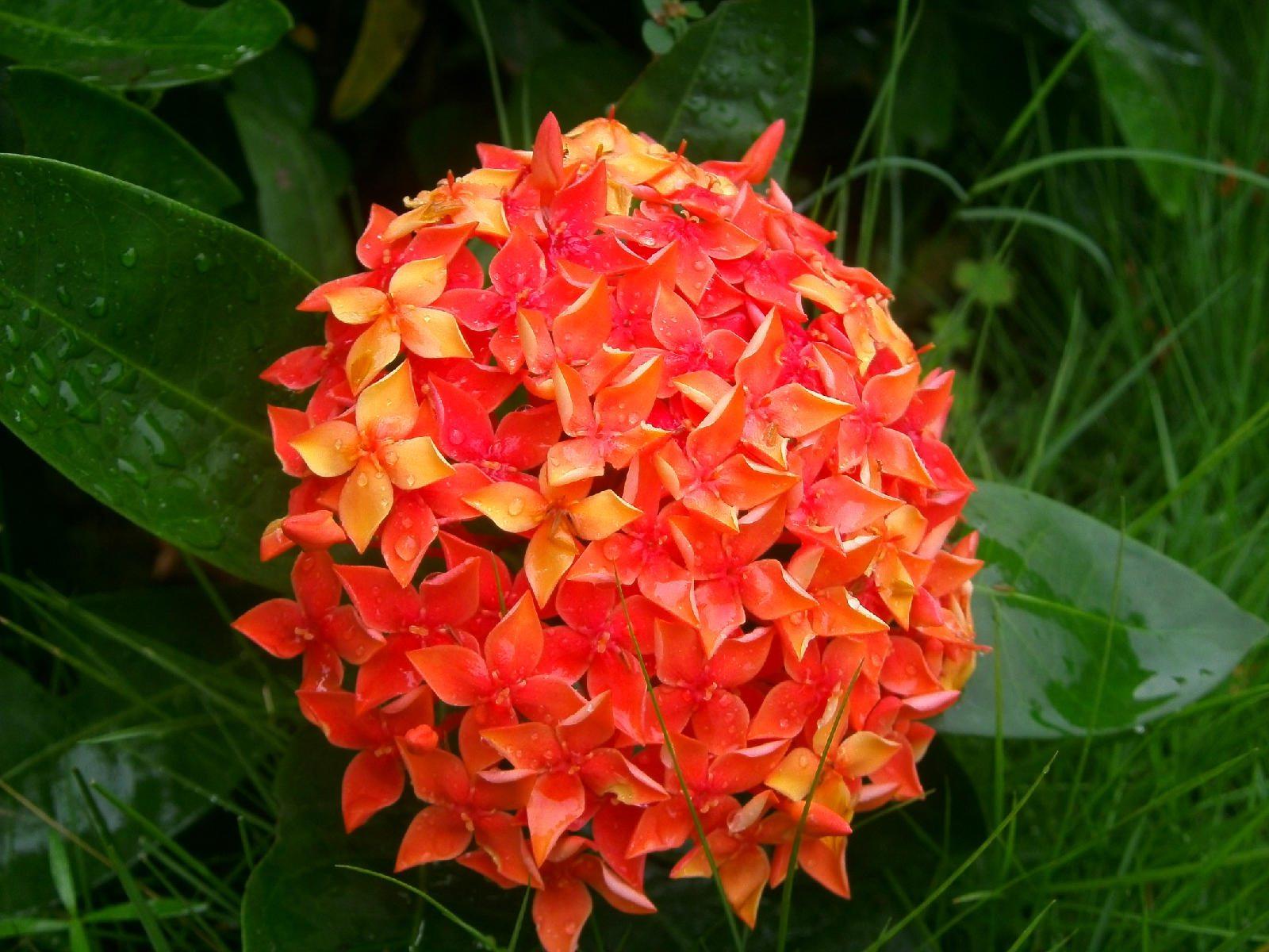 仙丹花可以在室内种植吗