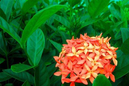 仙丹花的施肥方法