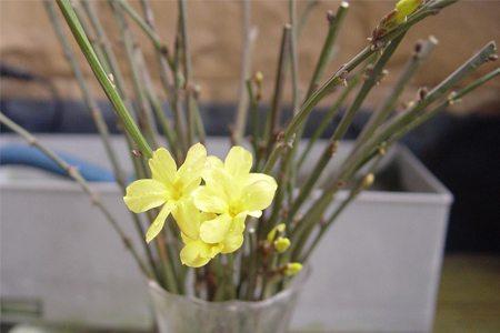 水插迎春花