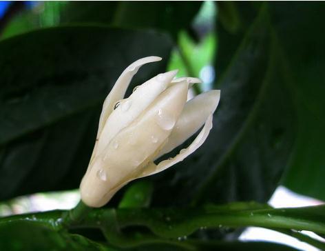白兰花的施肥方法