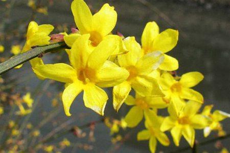 迎春花叶子发黄