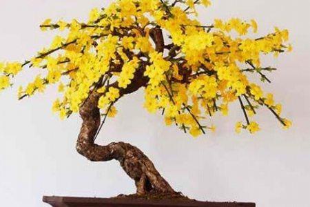 迎春花盆景