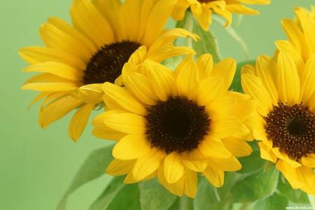 向日葵盛开