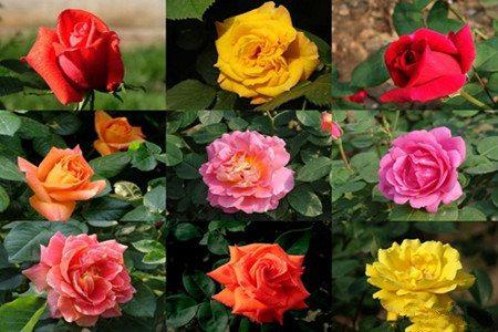 不同颜色的月季花