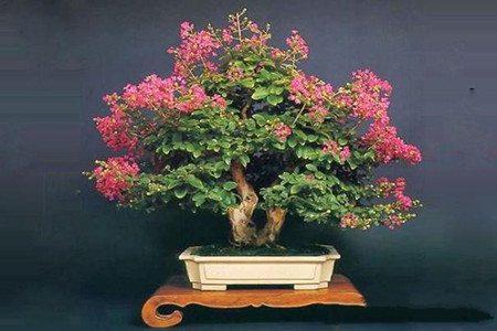 盆景紫薇花
