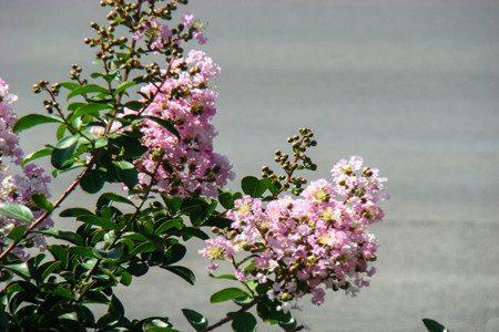 紫薇花的温度