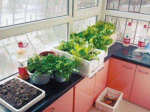 阳台种菜之北向阳台