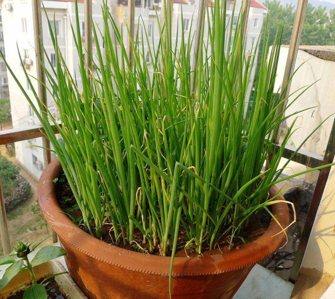 阳台香葱的种植方法