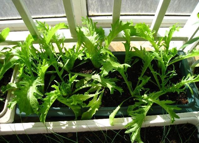 阳台种菜-茼蒿的种植方法