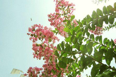 紫薇花花期