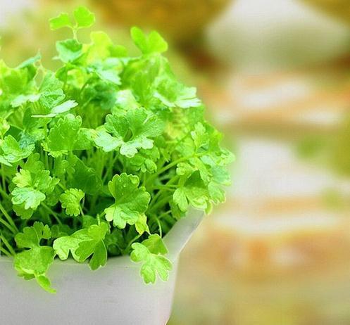 香菜种植方法 阳台种菜