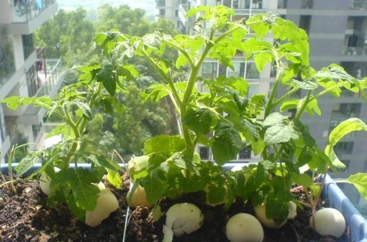 西红柿育苗方法-阳台种菜
