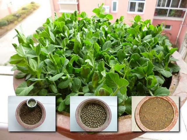 豌豆苗-阳台种菜