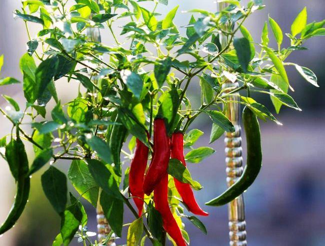红辣椒-阳台种菜