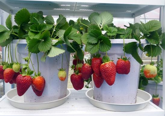 草莓果实-阳台种菜