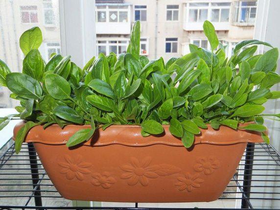 盆栽菠菜-阳台种菜