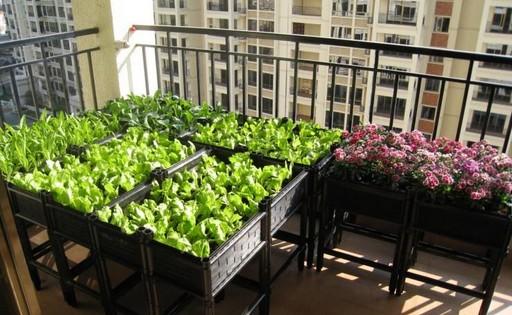 我家的菜园-阳台种菜