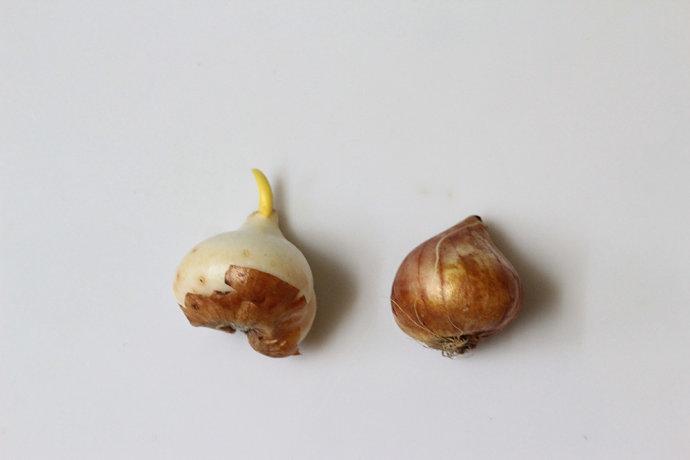 郁金香种球
