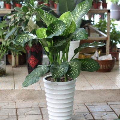 适合摆放在财位的植物要高身种(万年青)