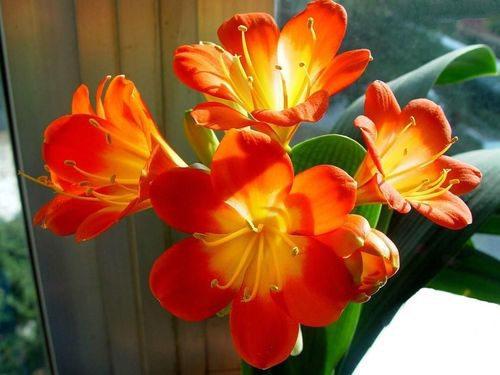 君子兰夏季开花