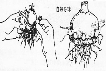 风信子分球繁殖方法