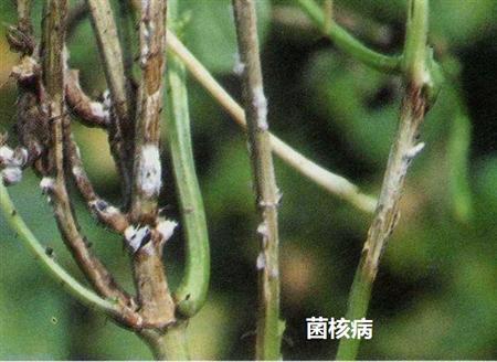 风信子菌核病