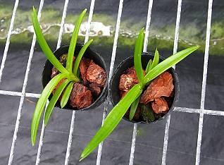 指甲兰的播种方法