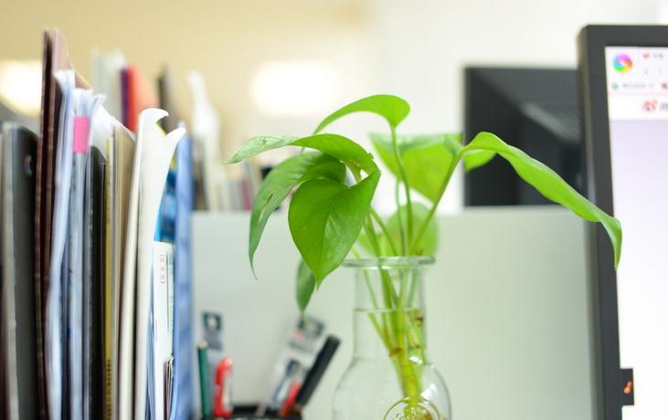水培绿萝方法