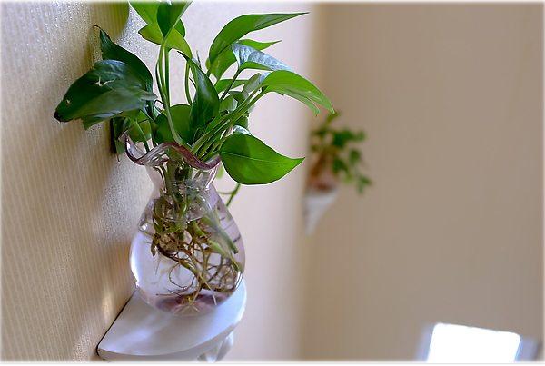 水培绿萝的养护方法