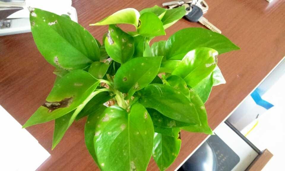 绿萝叶斑病