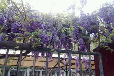 阳台上的紫藤花