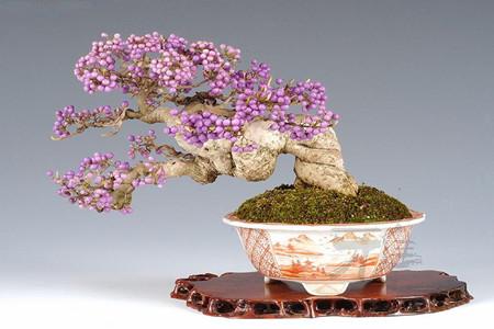 盆栽的紫藤开花