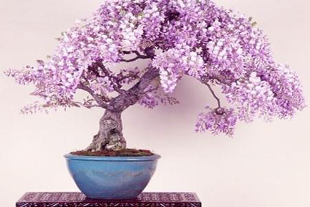 盆栽紫藤开花