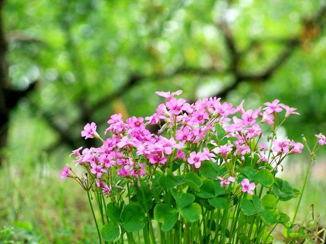 酢浆草开花的环境要求