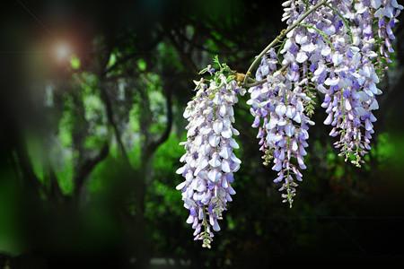 观赏性紫藤花
