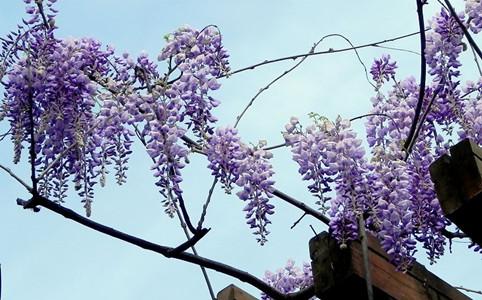 紫藤花盛开的图片