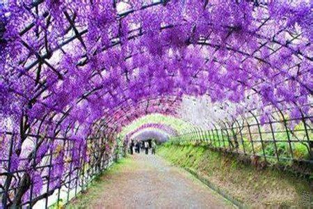 紫藤的环保价值