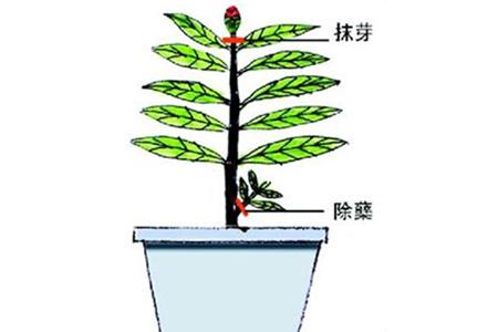 栀子花抹芽和除蘖