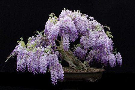 盆栽紫藤花