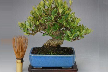 栀子花盆景塑形