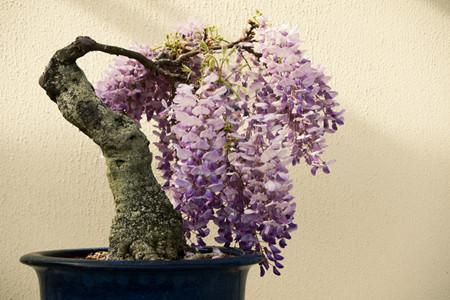 盆栽紫藤的图片