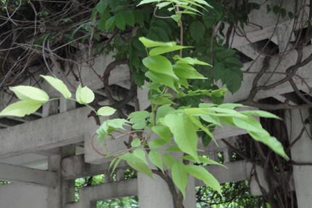 紫藤花黄叶