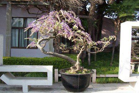 盆栽紫藤花的图片