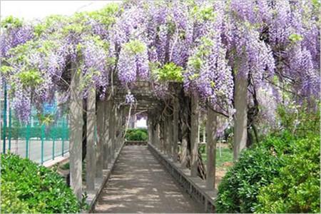 庭院紫藤花的图片