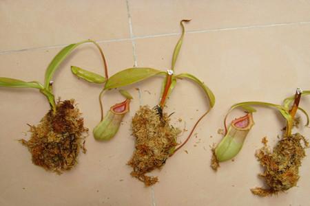 猪笼草扦插的照片