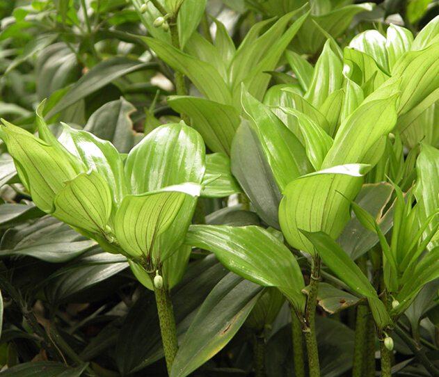 玉竹叶子发黄原因