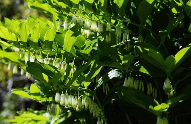 玉竹叶子发黄处理方法