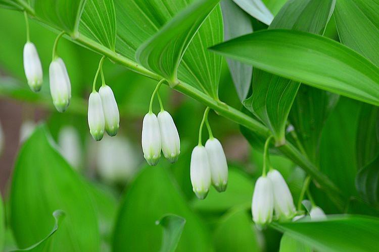 玉竹分株种植法