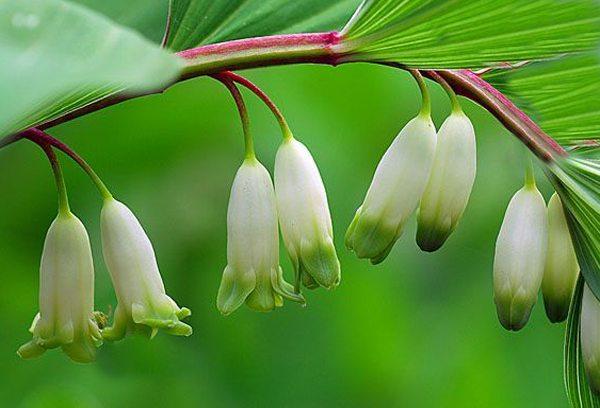 玉竹的养护方法