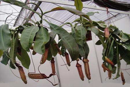 冬天温室里的猪笼草